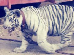 Un tigre en Ejido Puebla provoco temor entre los ciudadanos
