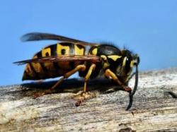 La cura contra el cáncer puede estar presente en veneno de una avispa
